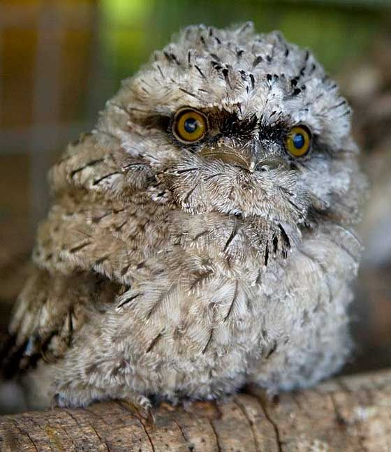 frogmouth owl - Yahoo Search Results | Nocturnal birds ...
