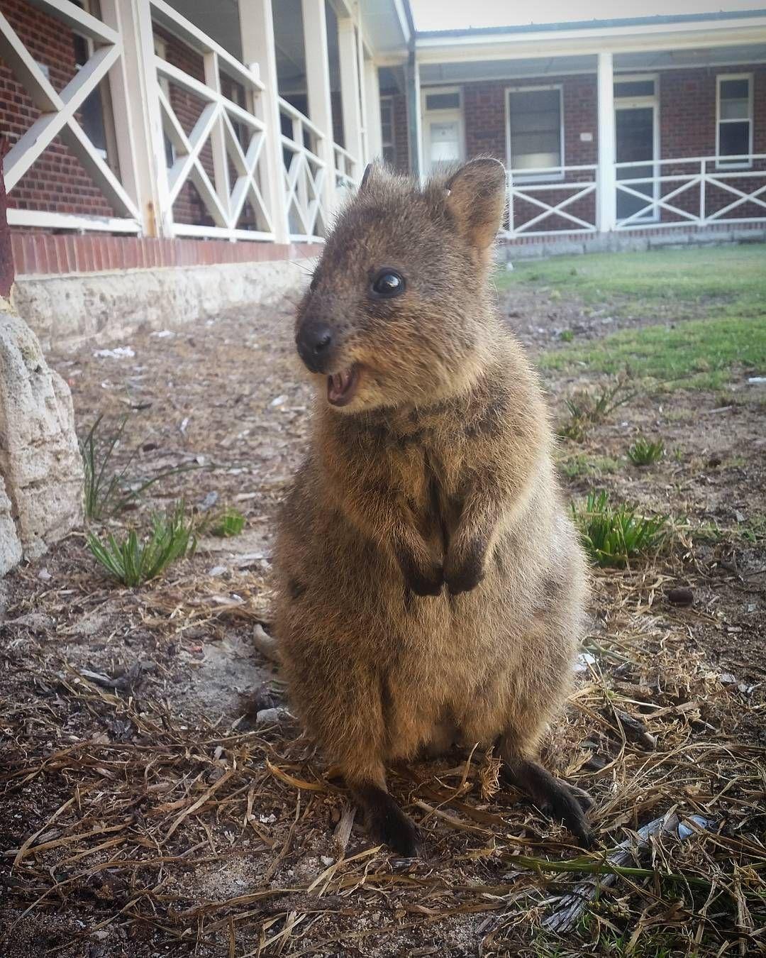 Cute quokka rottnestisland rottnest westernaustralia