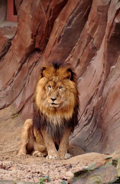 Afrikaanse Leeuw - Panthera Leo Leo - African Lion  All -8074