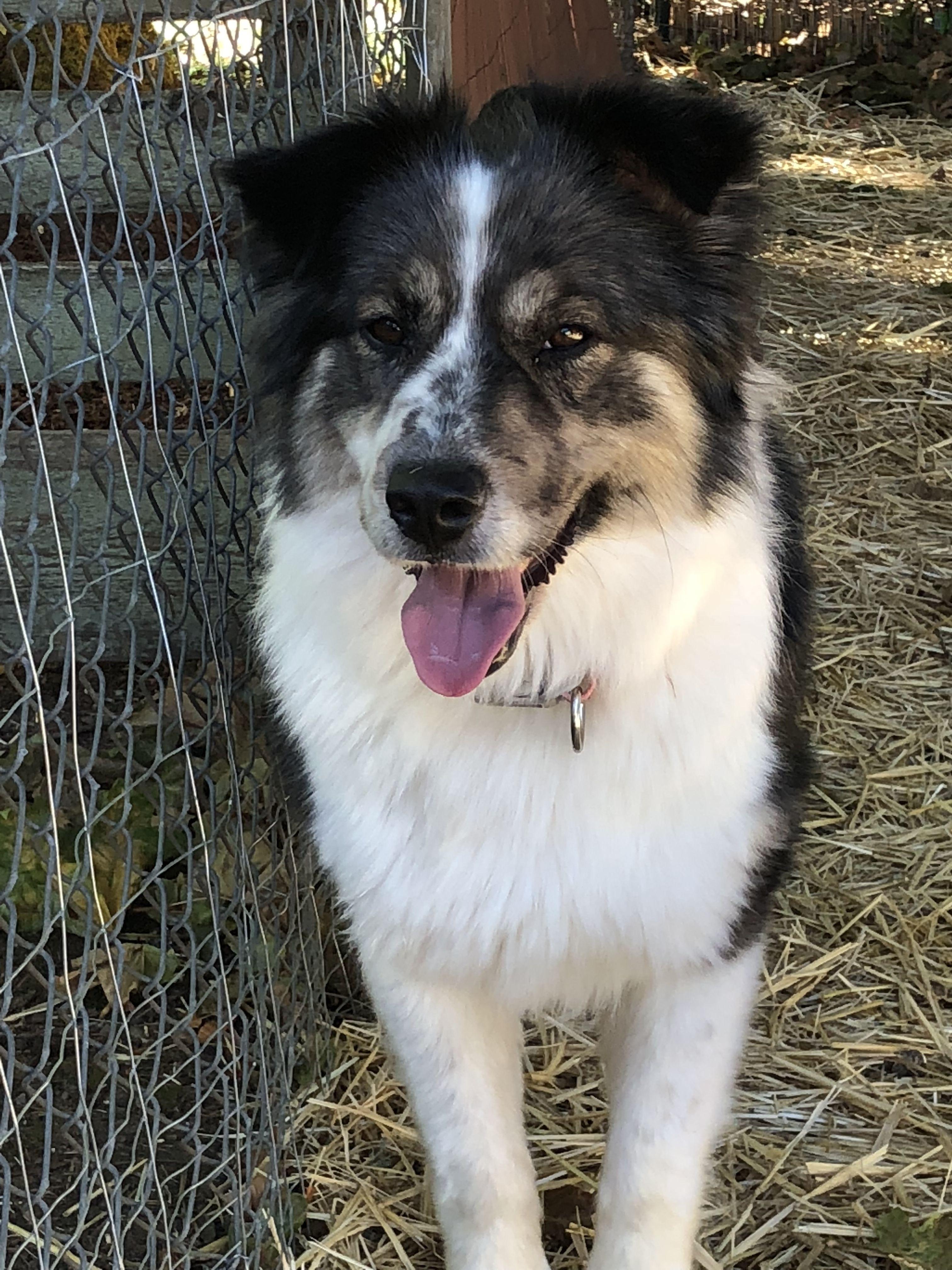 Adopt Tashi On Doggies Australian Shepherd Australian