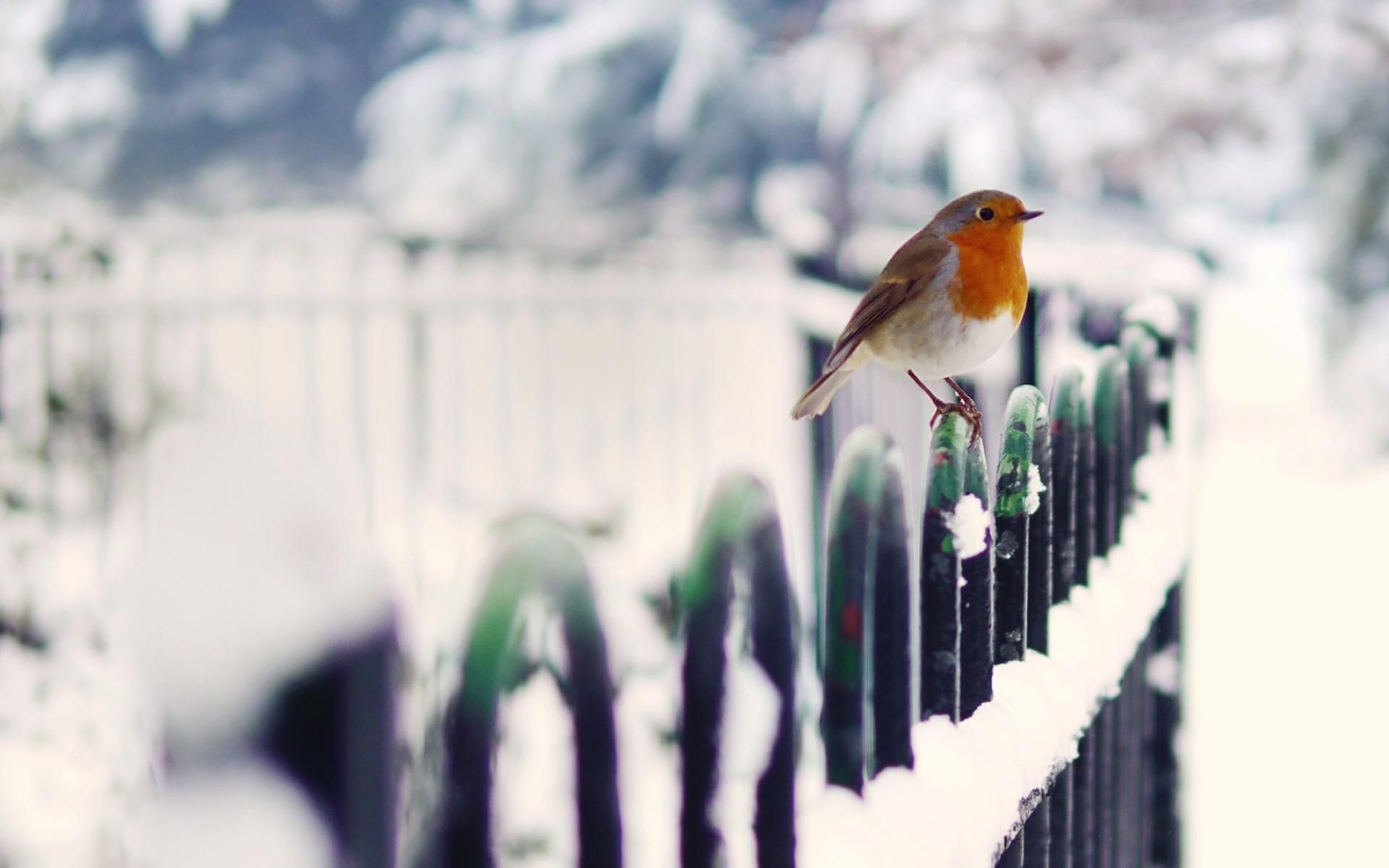 Winter Bird Wallpaper