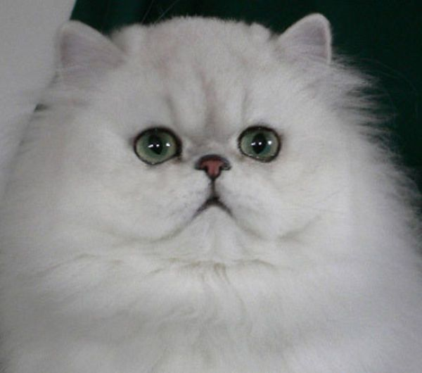 Gorgeous Chinchilla Persian Cat Silvery Snow White Hair Sometimes Tipped With Black Black Pigment Black Eye Lin Persian Cat Doll Face Persian Cat White Cats