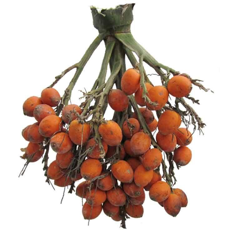 Bunga areca catechu areca nut betel nut philippine medicinal bunga areca catechu areca nut betel nut philippine medicinal herbs philippine ccuart Image collections
