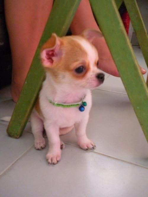 Healthy 12 Weeks Old Chihuahua Puppy Ready To Go Out For A New