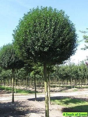 prunus eminensis umbraculifera sierkers bomen. Black Bedroom Furniture Sets. Home Design Ideas