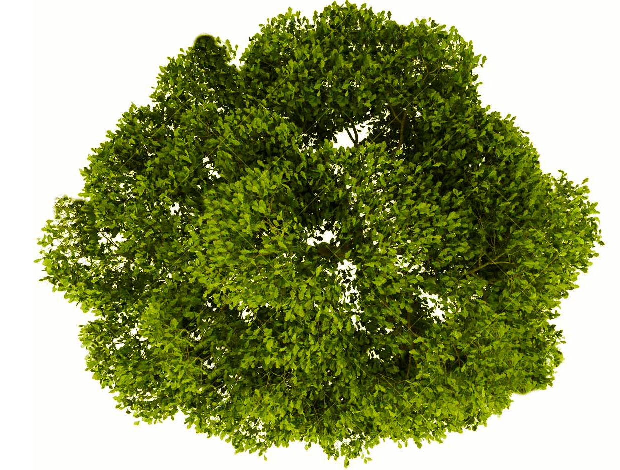 aerial tree png pinarqui guate on vegetacion | english oak tree, trees