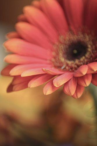 Gerbera Daisy Beautiful Flowers Pretty Flowers Gerbera Daisy