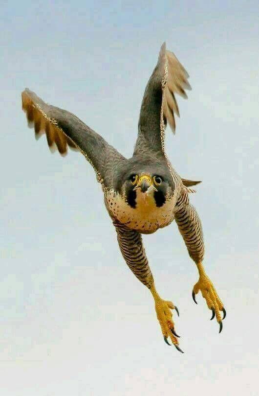 Imagem de Falcão peregrino por ℝ𝕦𝕝𝕖𝕕 𝕀𝕟𝕕𝕖𝕩 ℂ𝕒𝕣𝕕𝕤 em BIRDS