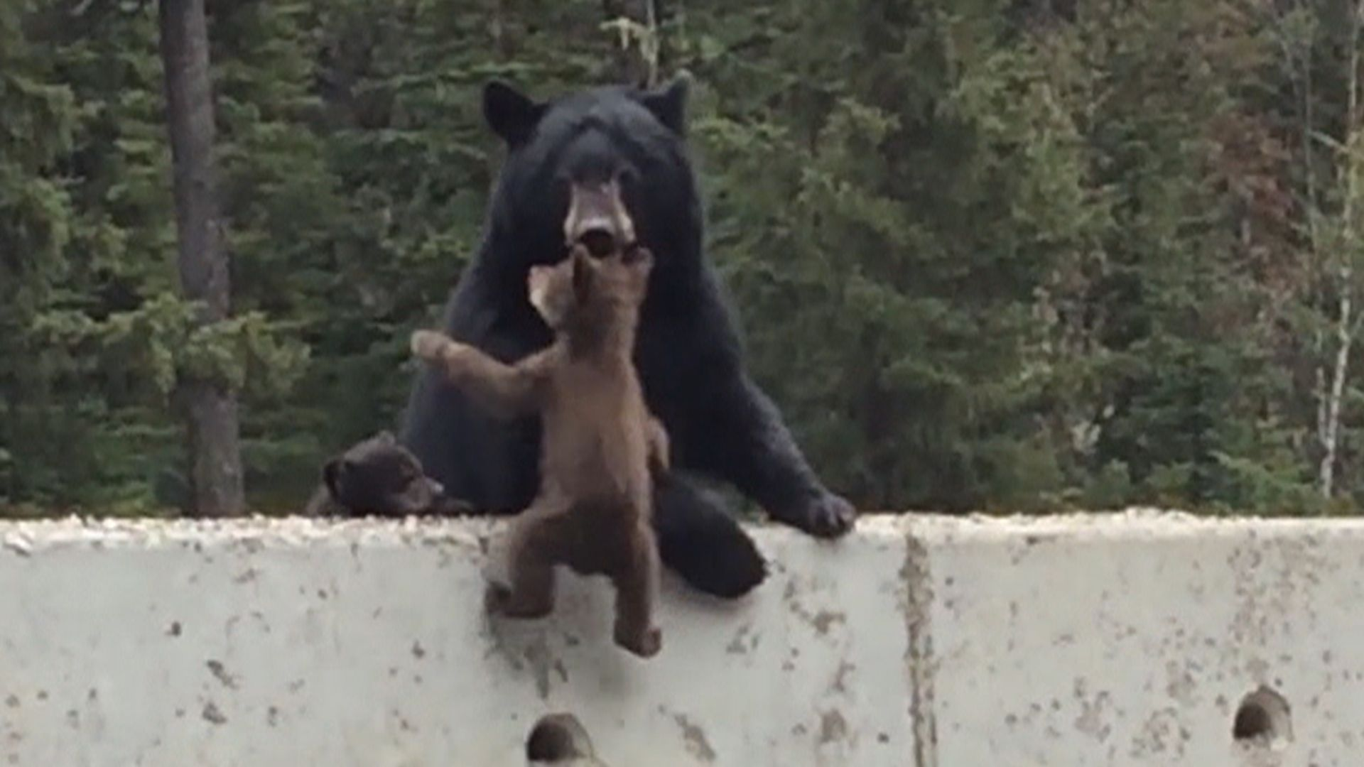 Image of: Netflix Watch This Mama Bear Save Her Baby From Highway Danger Pinterest Watch This Mama Bear Save Her Baby From Highway Danger Cuteness