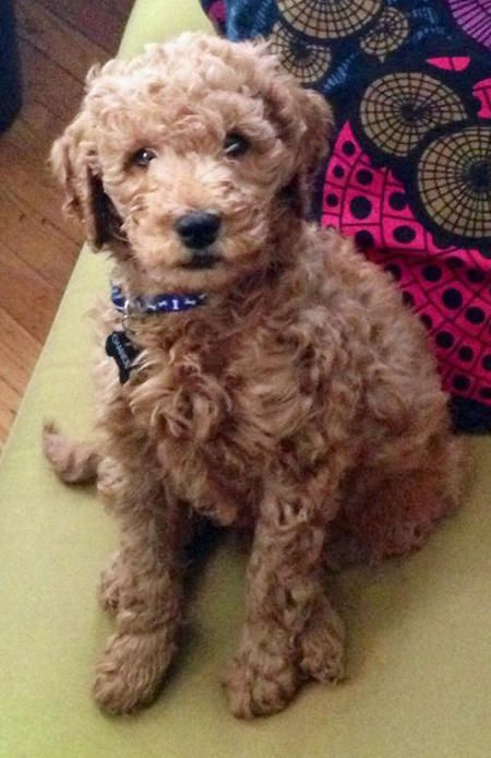 Chance Is A Spunky 3 Month Old Goldendoodle Who Loves Long Walks