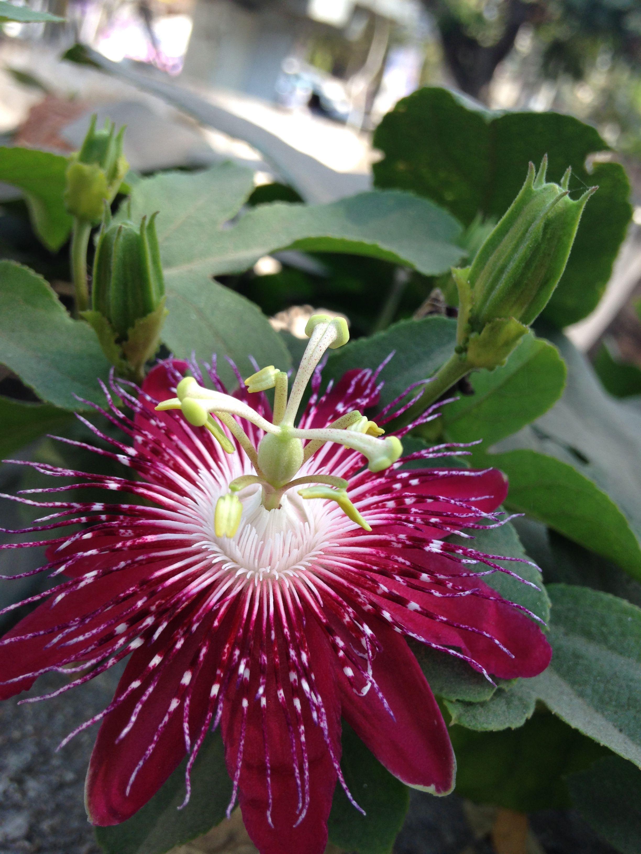Mahameru Flower