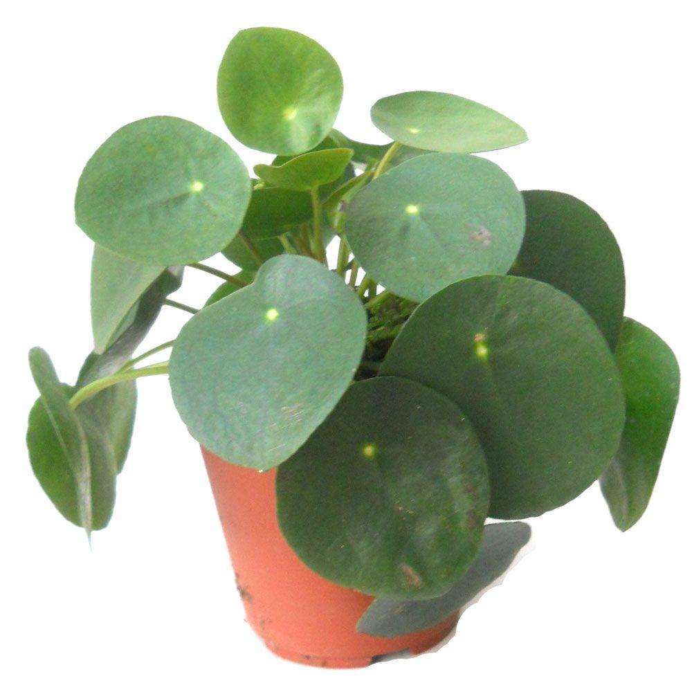 Pilea peperomioides plants for Kajuard plantes
