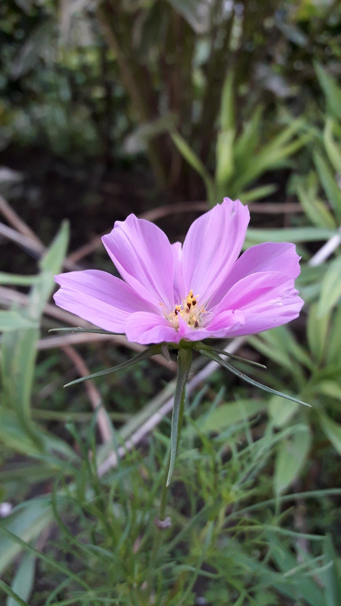 Pink Cosmo Flower Flowers Cosmos Plants