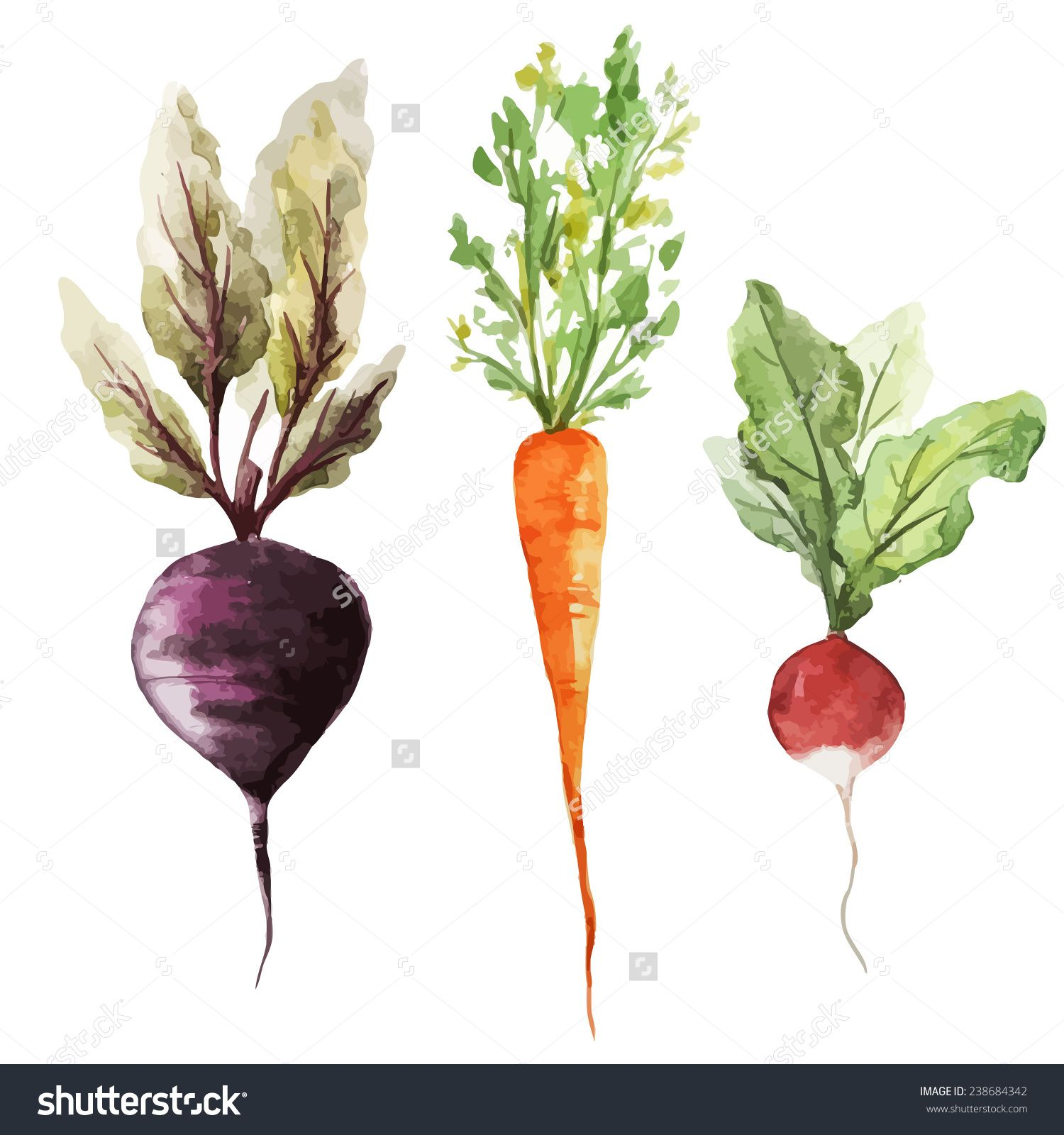 beet vector watercolor google search hwh pinterest root