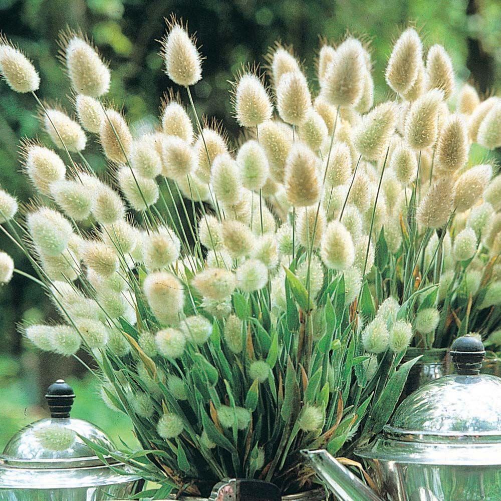 50+ BUNNY TAILS FLOWER SEEDS ORNAMENTAL GRASS HARE/'S TAIL LAGURUS OVATUS