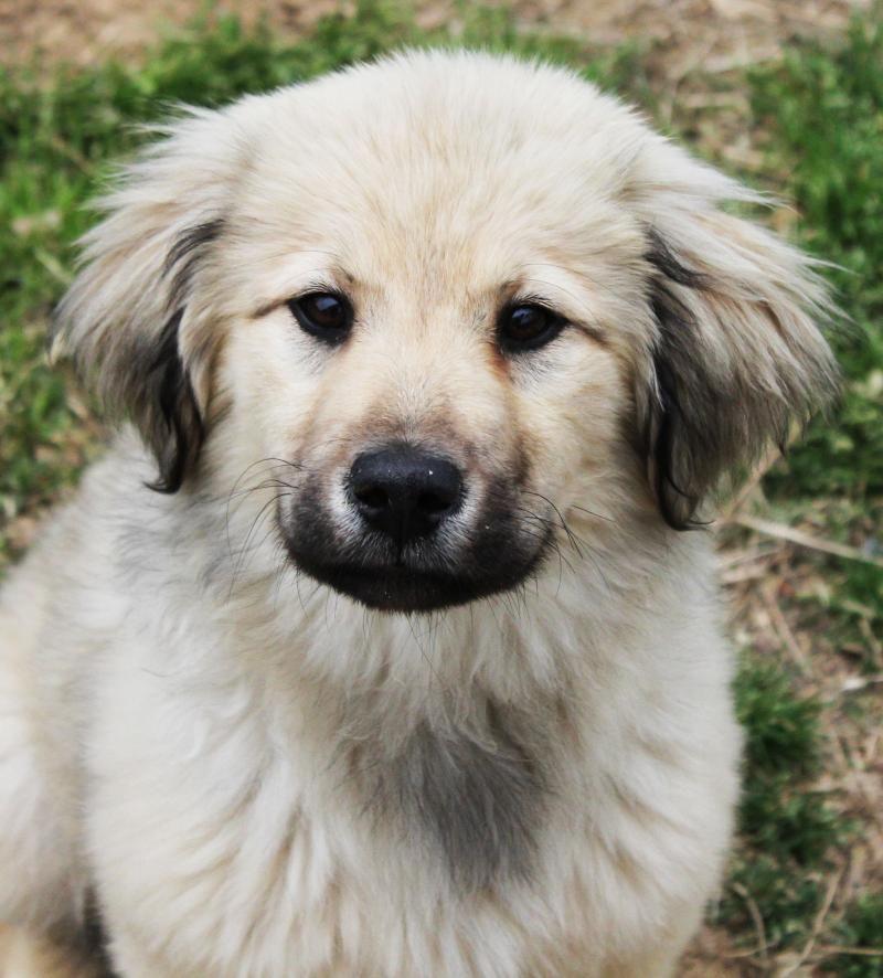 Adopt Flint On Dogs Golden Retriever Terrier Mix Dogs Golden