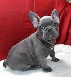 French Bulldog Males Puppies And Dogs For Sale Pets Classified