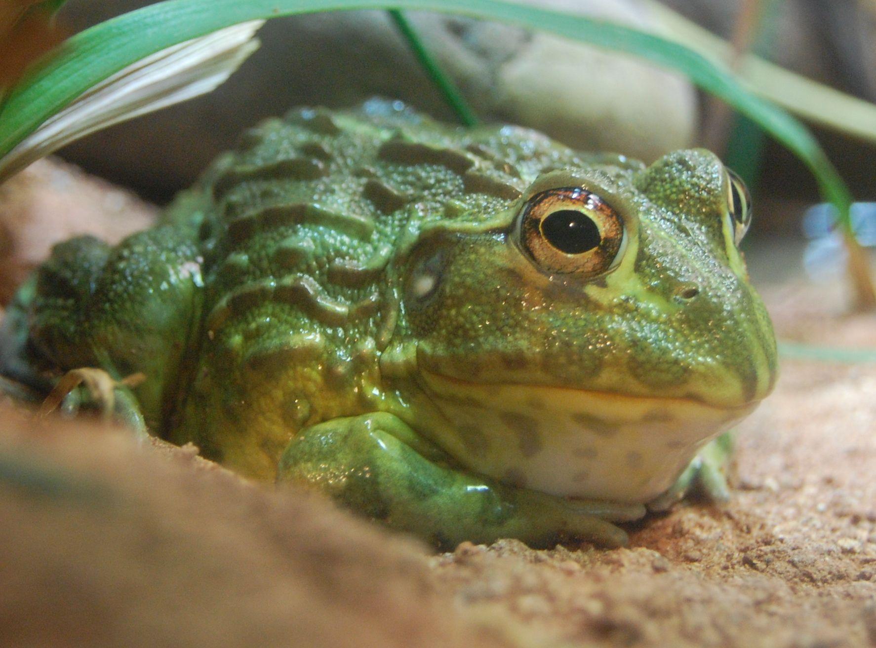 Pixie frog Aquarium Google Search African bullfrog
