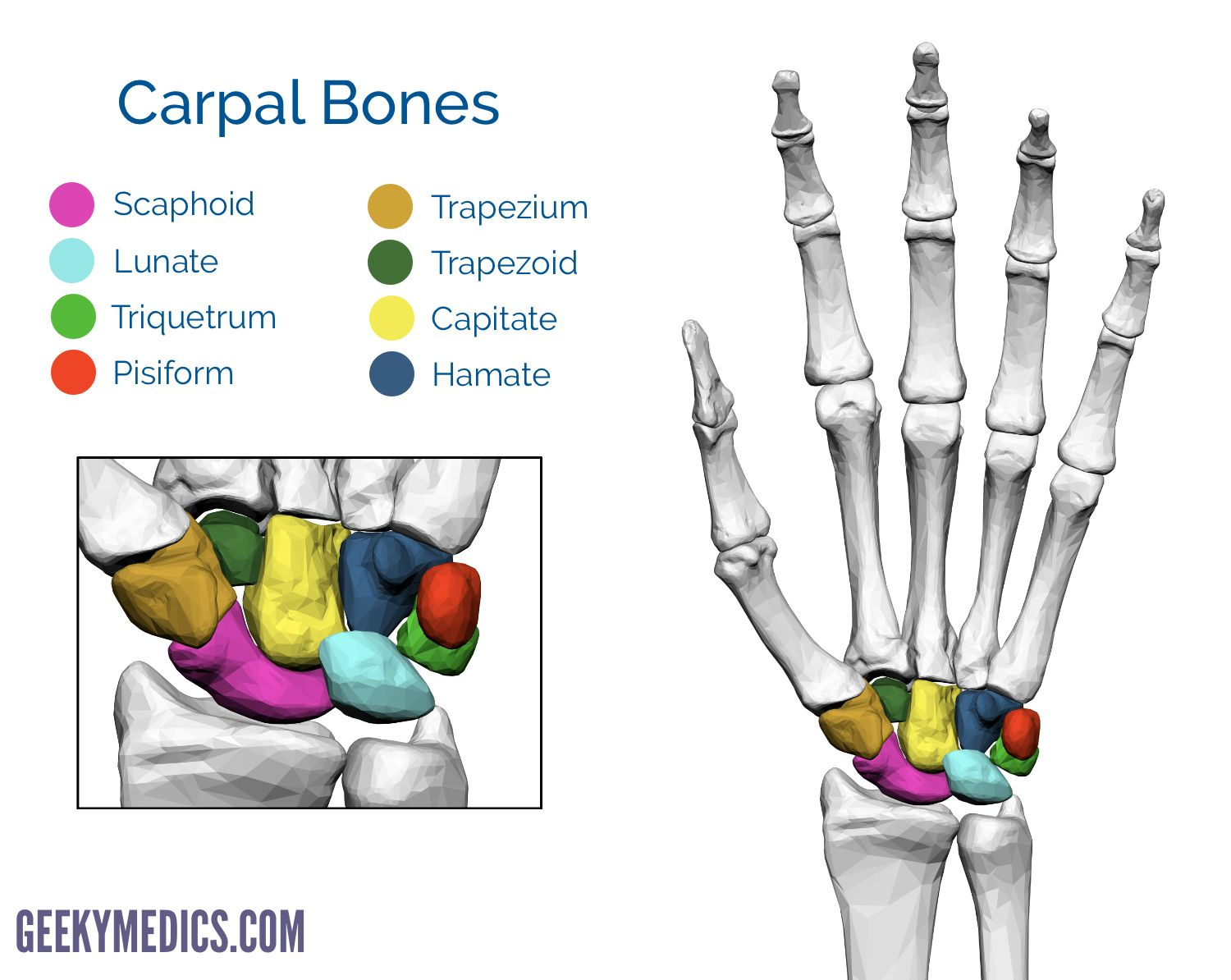 Bones Of The Hand Carpal Bones