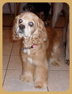 Cherish Is A Very Sweet And Petite Girl Who Loves To Cuddle She Is Quiet And Only Barks If She Is Outside A Cocker Spaniel Rescue Cocker Spaniel Dog Adoption