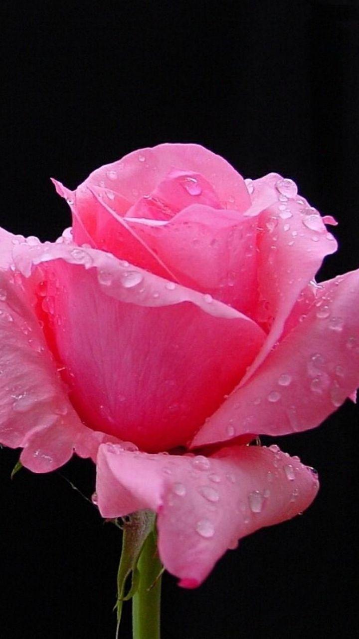 720x1280 wallpaper rose flower bud petals drops fresh black 720x1280 wallpaper rose flower bud petals drops fresh black background buycottarizona