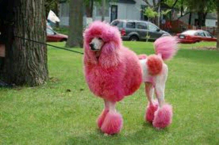 Hot Pink Poodle Pink Poodle Dog Pink Dog Pink Poodle Poodle