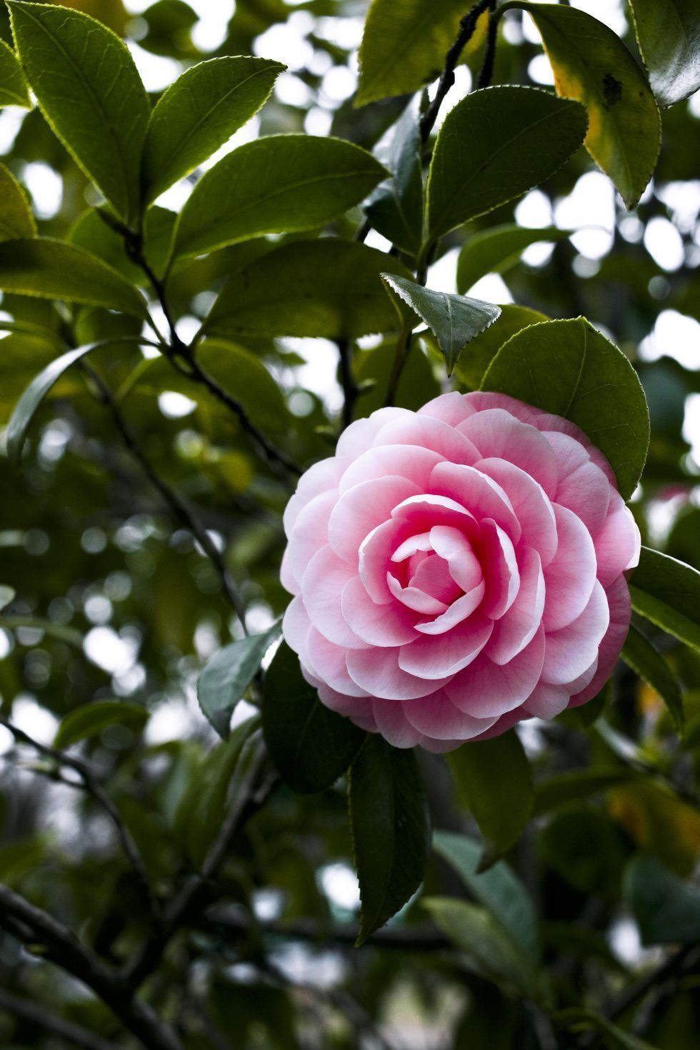 Pink Camellia Flower Winter Flowers Garden Winter Flowers Beautiful Flowers Garden