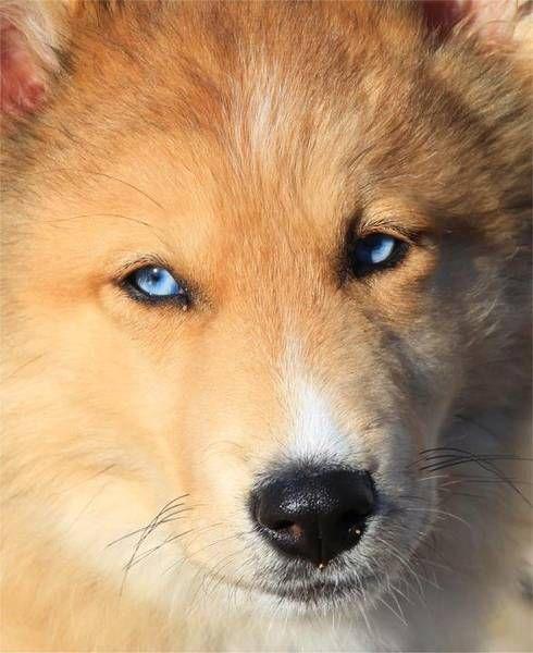 Saphire A Rough Collie Siberian Husky Mix Again I Just Love