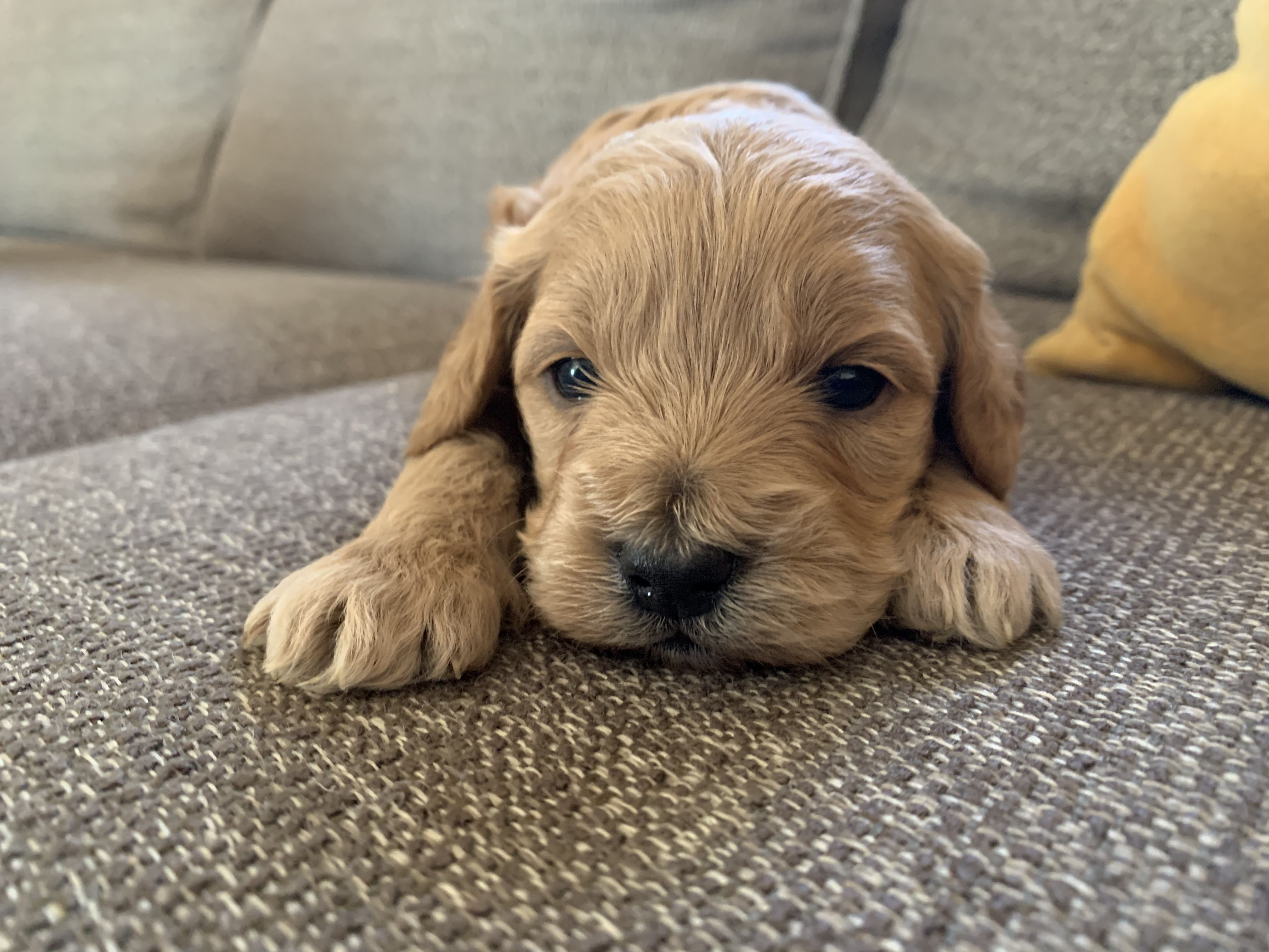 One of five in his litter, dam is a 3/4 Cocker Spaniel 1/4