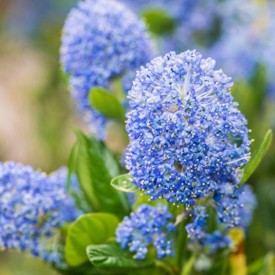 Quelles Fleurs Planter En Septembre céanothe: tout sur l'entretien de l'arbuste à fleurs bleues