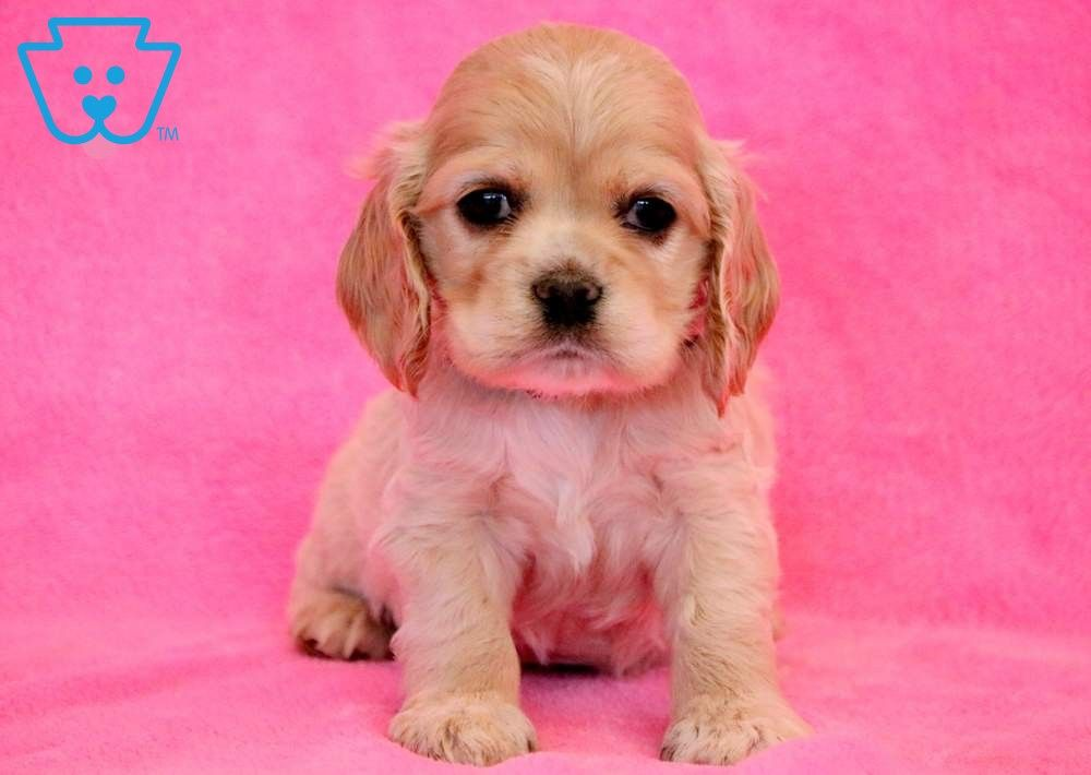 Hope Spaniel Puppies Spaniel Puppies For Sale Cocker Spaniel