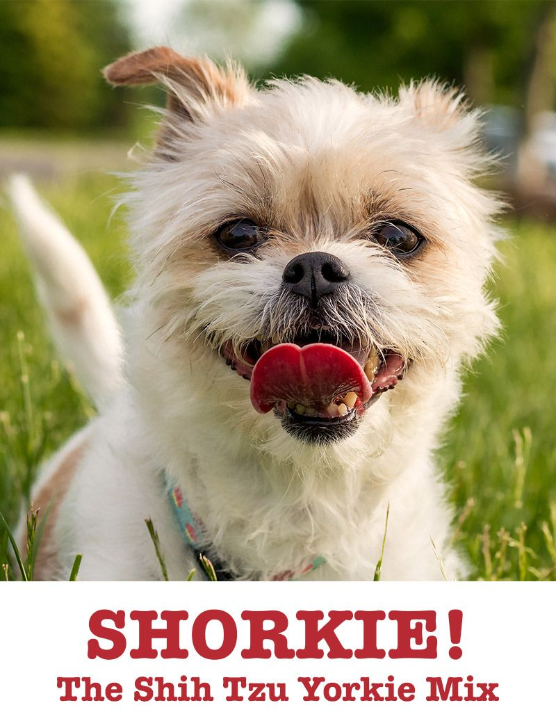 Shorkie Is The Shih Tzu Yorkshire Terrier Mix The Perfect Lapdog