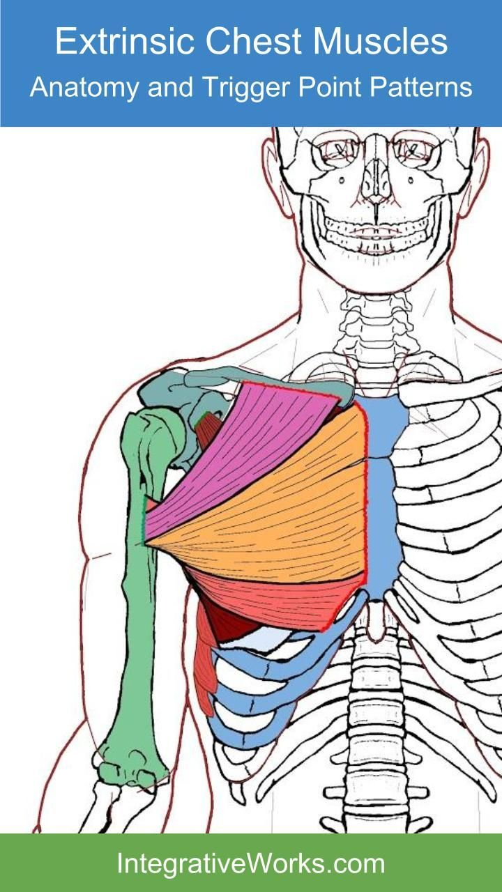 Extrinsic Chest Muscles – Functional Anatomy | Chest muscles