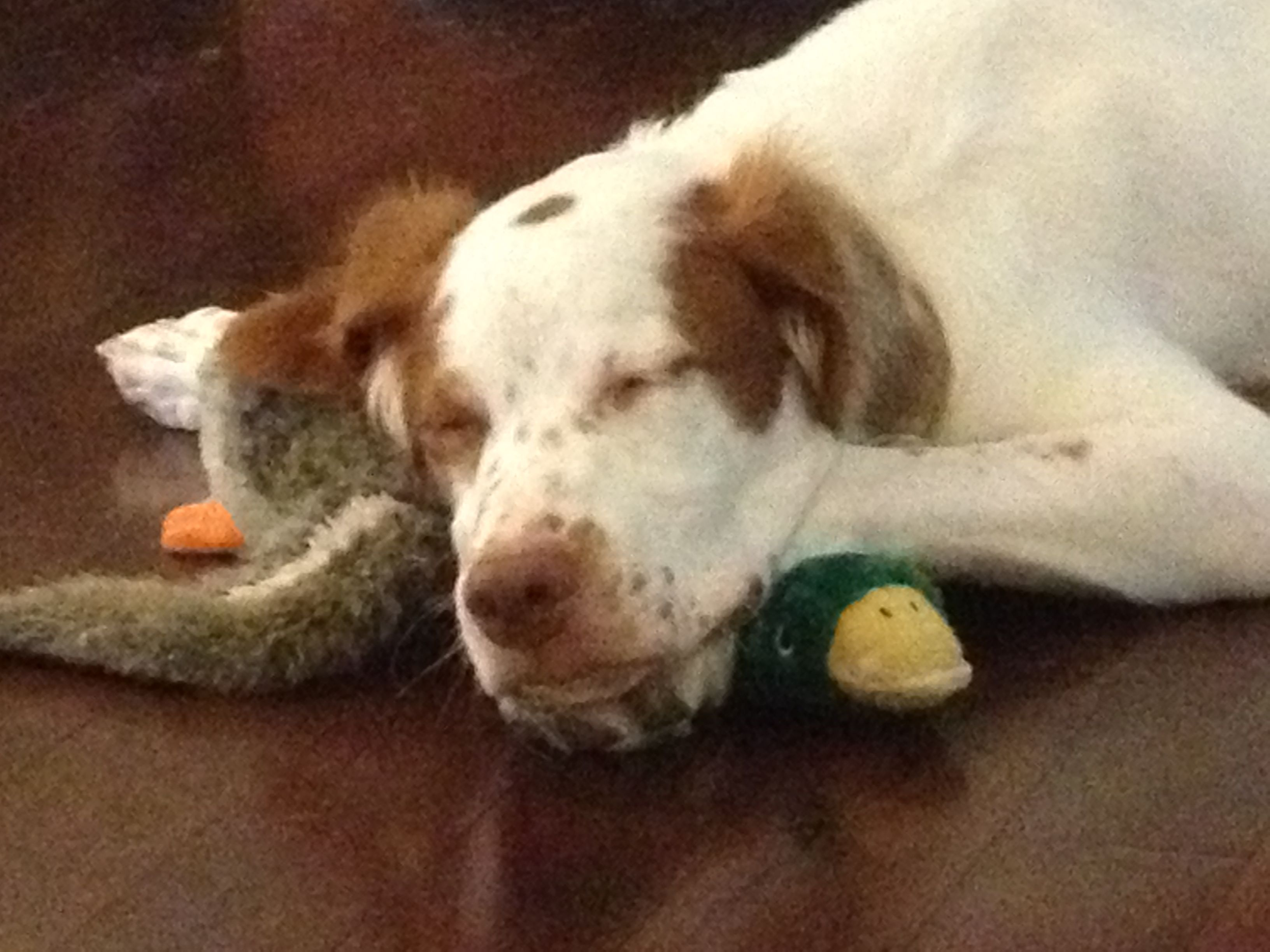 Brittany Puppy sleeping on his duck! Sleeping puppies