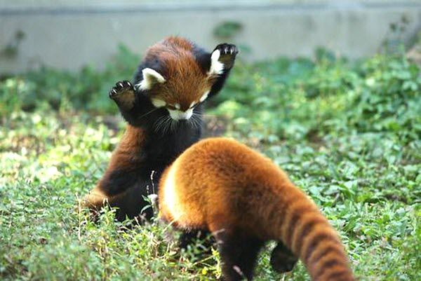 silly red pandas