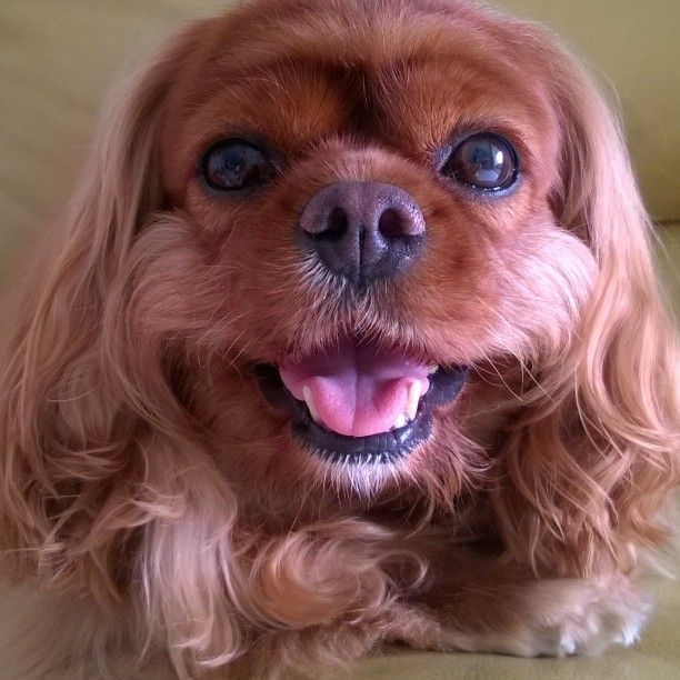 Samanthachan My Love Is Smiling Cavalier King Spaniel King