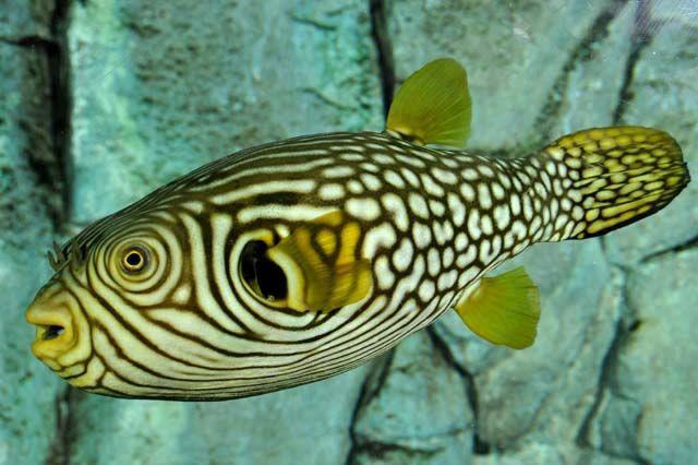 Stars And Stripes Puffer Marine Fish Fish Pet Saltwater Aquarium