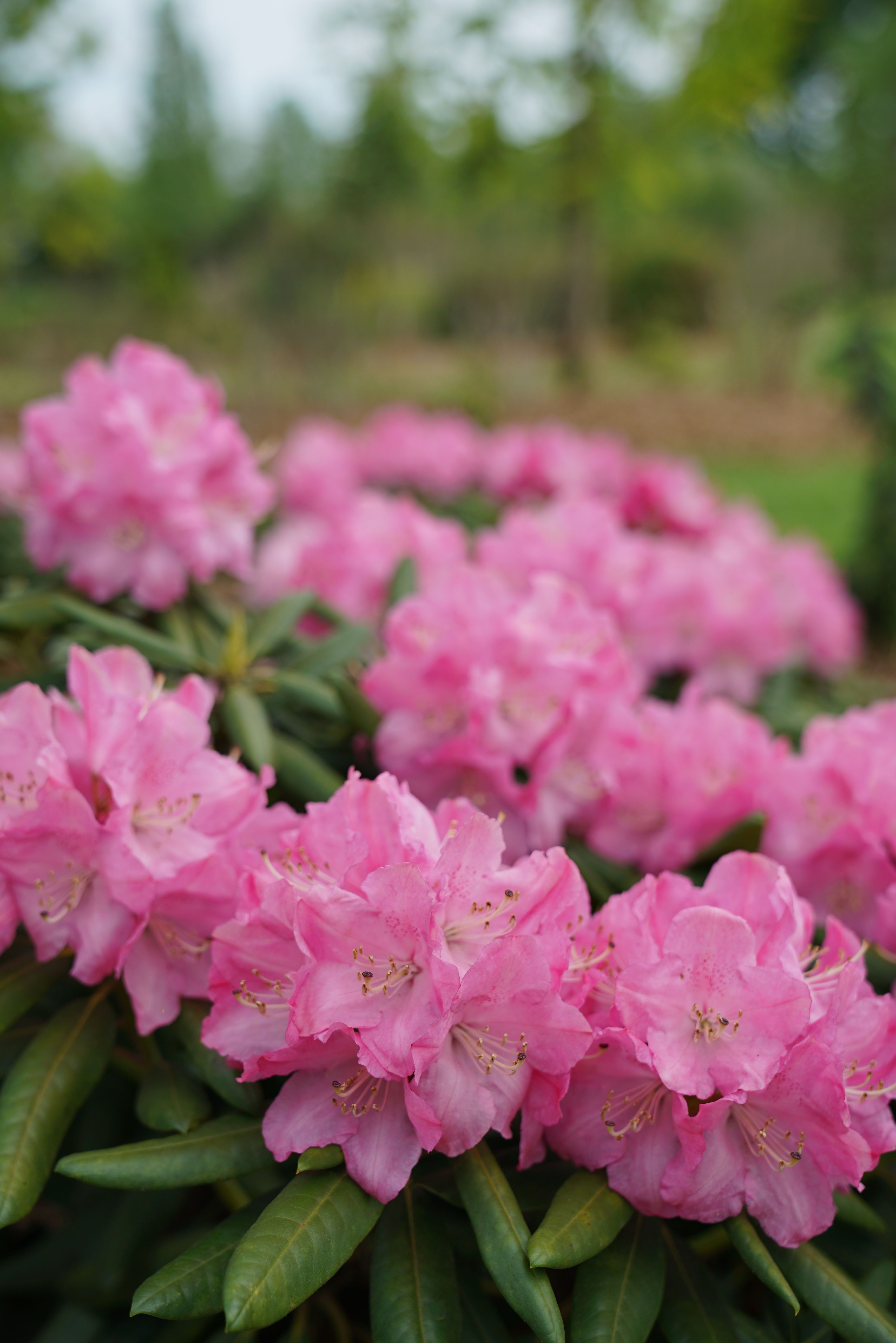 Dandy Man Pink Rhododendron X With Images Pink Plant