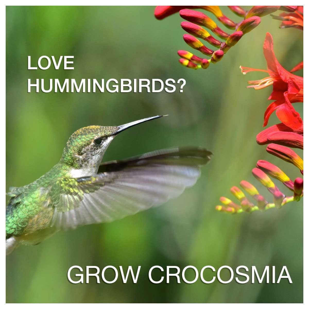 Love hummingbirds grow some crocosmia red flowers perennials and hummingbirds love red flowers and the bright red blossoms of crocosmia lucifer are among their favorites mightylinksfo