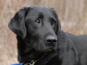 Adopt Champ On Petfinder Black Labrador Retriever Labrador Retriever Dog Black Labrador