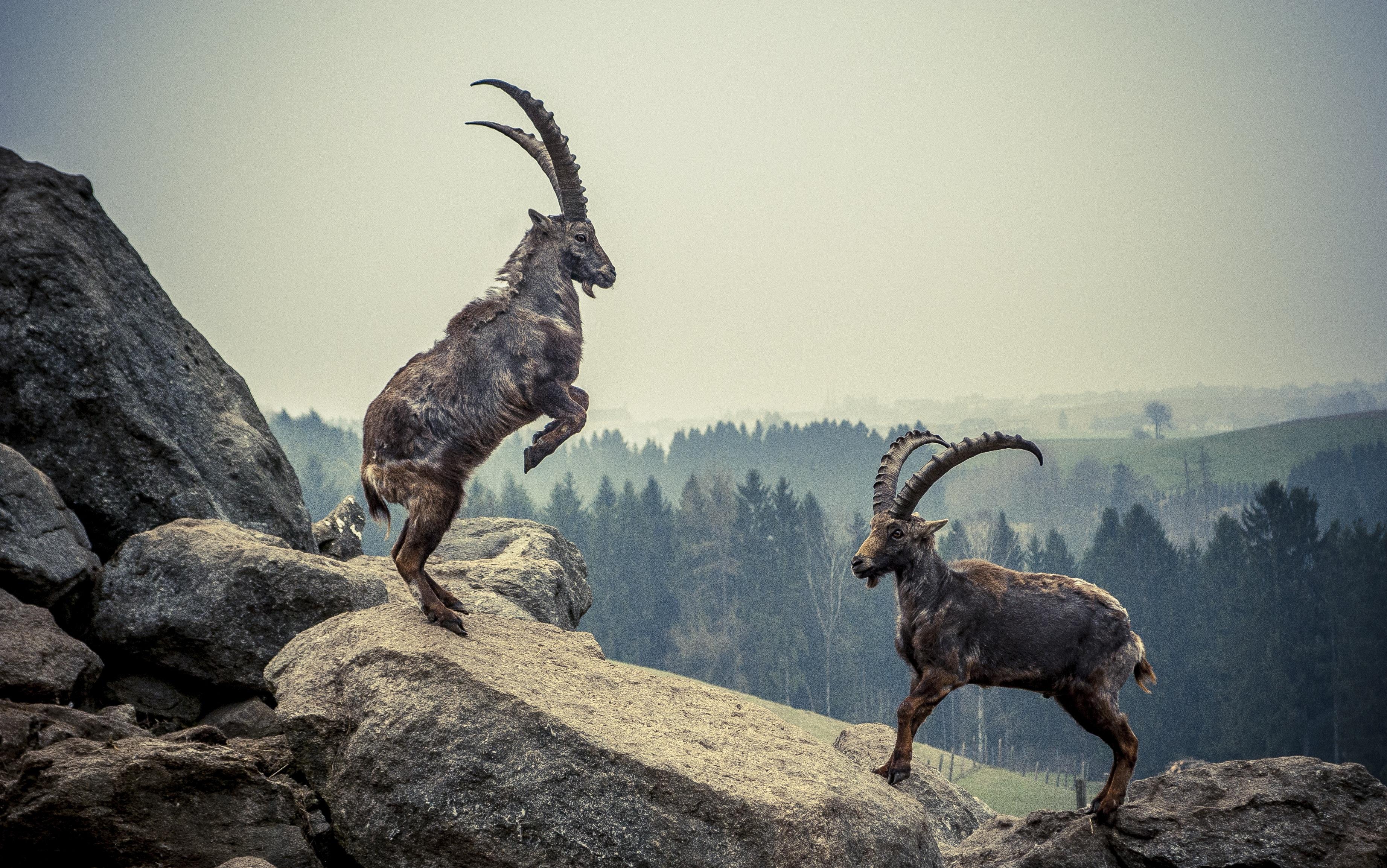 Alpine Ibex in 2020   Alpine ibex, Ibex, Animals
