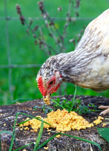 Fermented chicken feed makes healthier chicks and saves on feed!