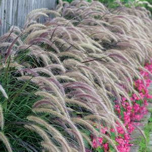 Pennisetum advena rubrum purple fountain grass is an for Tall purple ornamental grass