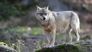 Pétition : Arrêt de l'abattage des loups