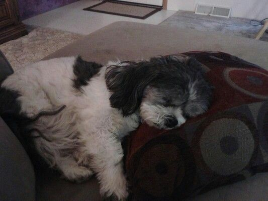 Comforts Of A Soft Pillow Fur Babies Soft Pillows Doggy