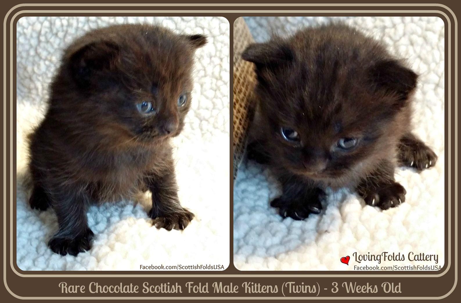 Scottish Fold Kittens Rare Chocolate Color Scottish Fold Kittens Cat Scottish Fold Scottish Fold