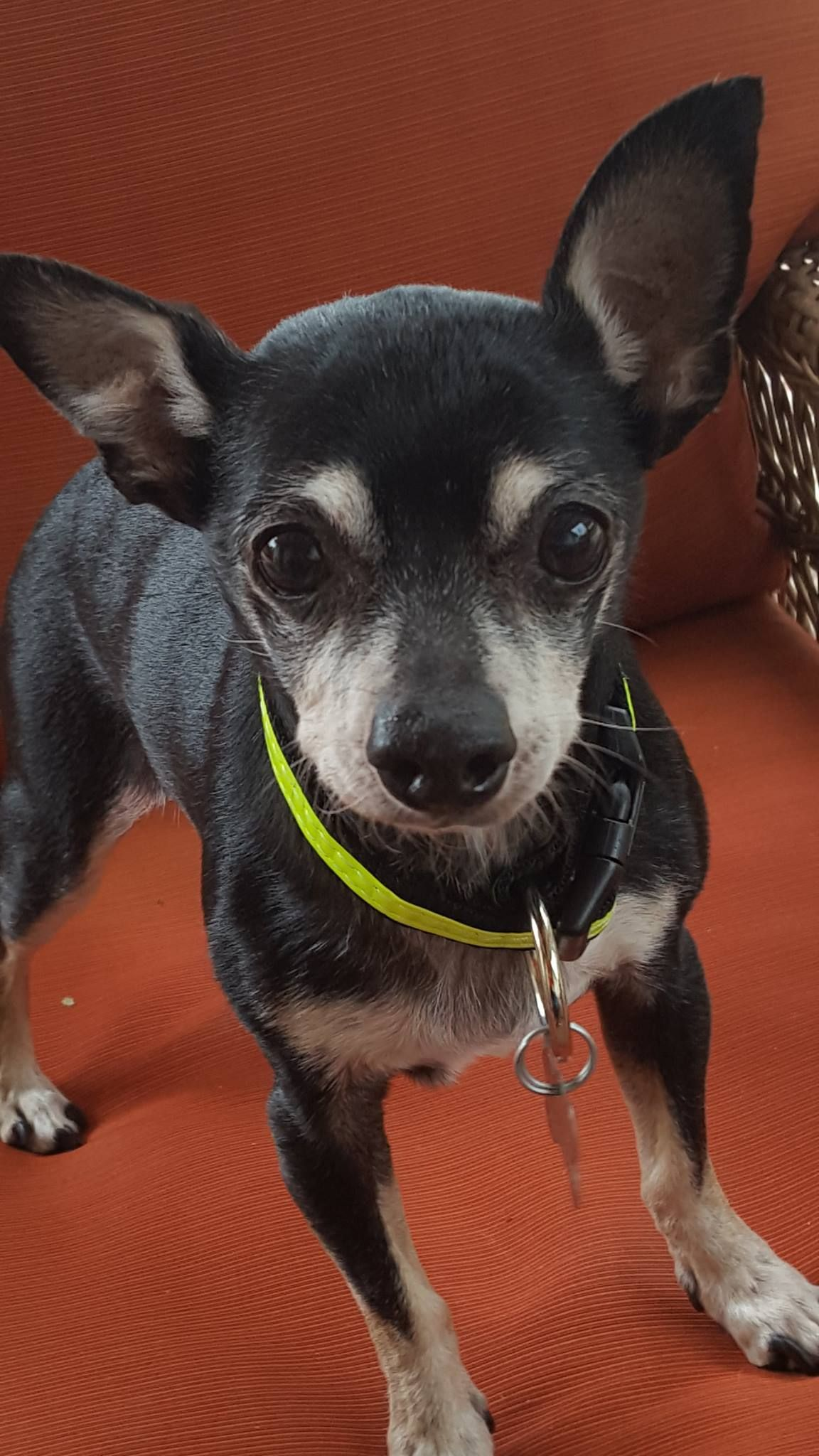 Chipin Dog For Adoption In Colorado Springs Co Adn 617102 On Puppyfinder Com Gender Male Age Senior Dogs Rescue Dogs Miniature Pinscher