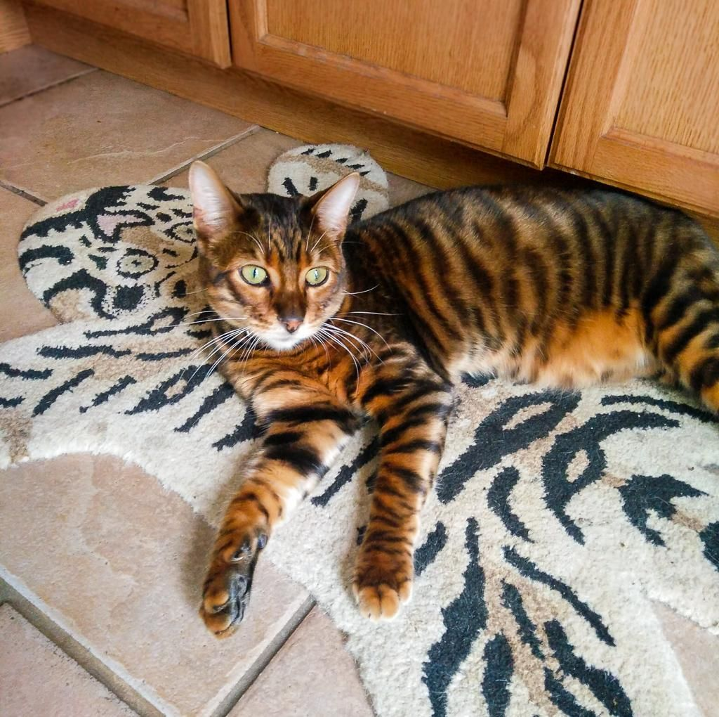 Toyger On A Tiger Rug Music Indieartist Chicago Toyger Kitten