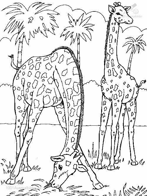 Giraffe Ausmalbild 09 Ausmalbilder Tiere Giraffe Coloring Pages