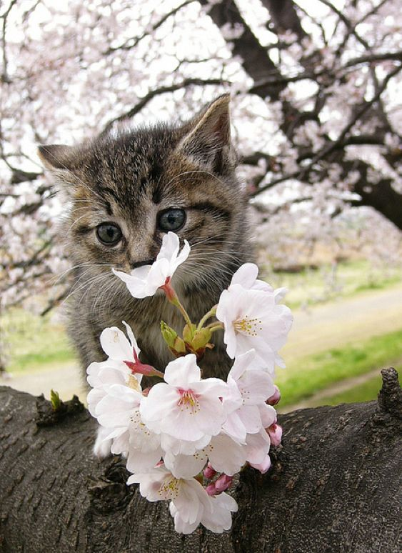Cherry Blossom Tree Cats Pics Videos Links News Cute Animals Beautiful Cats Cute Cats